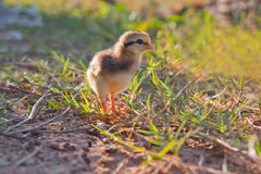 A baby of chick loss the way and call for mom Stock Photography