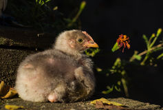 Baby chick. Male black baby chick in the afternoon sunlight on stairs. Photo taken in october 2014 Stock Photography