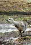 Baby chick in the mud Stock Photo