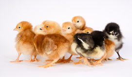Baby Chick Newborn Farm Chickens Australorp Rhode Island Red Lizenzfreie Stockbilder