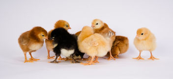 Baby Chick Newborn Farm Chickens Australorp Rhode Island Red Royalty Free Stock Image