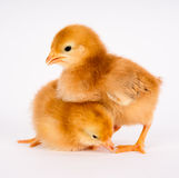 Baby Chick Newborn Farm Chickens Standing White Rhode Island Red. A Rhode Island Red Baby Chicken Stands with Sibling Alone Just a Few Days Old royalty free stock images