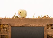 Baby Chick. One baby chick sitting on the edge of a wooden crate looking down at a blank chalkboard - image taken on clean white background Stock Image