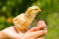 Baby chick on palm Stock Photography