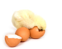 Baby chick peeing into broken brown egg Stock Photos