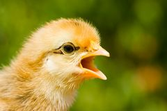 Baby chick screaming. Baby chick on a woman's palm Royalty Free Stock Photos