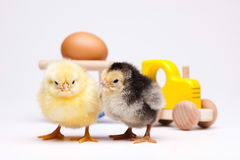 Baby chick, springtime colorful bright theme.  Stock Image