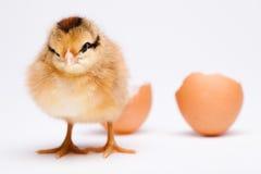 Baby chick, springtime colorful bright theme.  Stock Photos