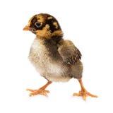 Baby Chick Standing zum mit Seiten zu versehen Stockfotografie
