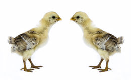 Baby chick. Two yellow brown new born baby chick isolated in white background Stock Photos