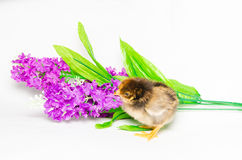 Baby chick on violet flowers Royalty Free Stock Image