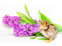 Baby chick on violet flowers  on white Royalty Free Stock Photography