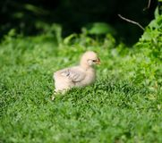 Baby chick walking in the grass Stock Images