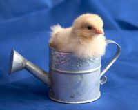 Baby Chick in Watering Can Stock Images