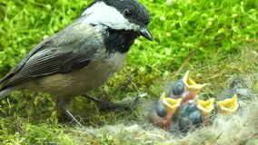 Baby chickadee meal time day 7. Baby chickadees meal time: Chickadee feeds babies and carries away the fecal sac stock video footage
