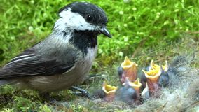 Baby chickadee quick meal. Baby chickadees meal time: Chickadee feeds babies and fly away quickly stock footage