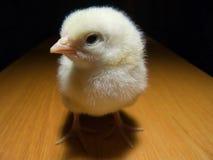Baby chicken stock photo