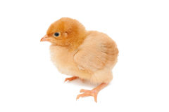 Baby chicken Stock Photos