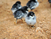 Baby chicken. Small baby chicken on the farm stock photography