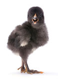 Baby chicken. Closeup on white background Stock Photography
