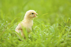 Baby chicken  Stock Photography
