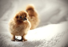 Baby chicken Royalty Free Stock Photography