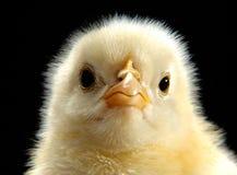 Baby chicken. Baby bird royalty free stock photos