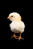 Baby Chicken on Black Royalty Free Stock Image