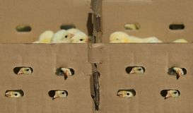 Baby chicken in the box Royalty Free Stock Image