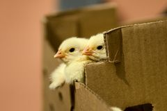 Baby chicken in the box. One day baby chicken in the box. No sharpening applied. Natural day light. The whole series can be found in my portfolio stock image