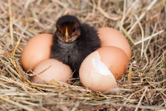 Baby chicken with broken eggshell and eggs in the straw nest Royalty Free Stock Photos