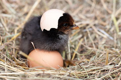 Baby chicken with broken eggshell in the straw nest Stock Photo