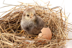 Baby chicken with broken eggshell in the straw nest on white background Royalty Free Stock Images