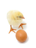 Baby chicken and brown egg Royalty Free Stock Image