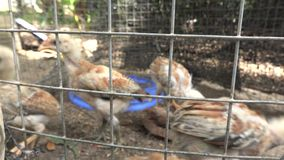 Baby chicken in the cage. Small chicken running in the cage stock video footage