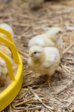 Baby chicken on a chicken farm Stock Image