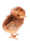 Baby chicken closeup Royalty Free Stock Photography