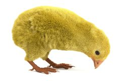 Baby chicken Royalty Free Stock Image