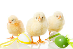 Baby chicken and easter eggs on white Stock Photography