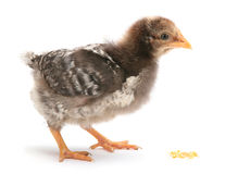 Baby chicken eat corn Royalty Free Stock Image