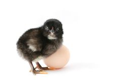 Baby-chicken with egg royalty free stock images