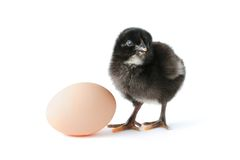 Baby chicken and egg Stock Images