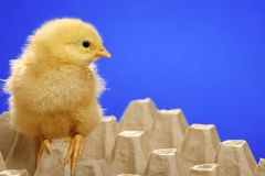 Baby chicken in egg carton Royalty Free Stock Image