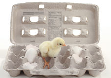 Baby chicken in egg carton Royalty Free Stock Photos