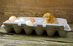 Baby chicken in egg carton Stock Photos