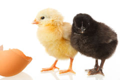 Baby chicken and egg on white Royalty Free Stock Image