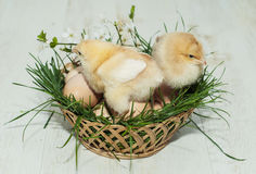 Baby chicken and eggs on the basket Royalty Free Stock Images