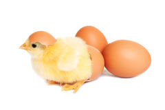 Baby chicken with eggs Stock Image