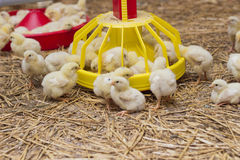 Baby Chicken on a Farm Royalty Free Stock Photos