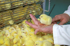 Baby chicken in farm hatchery. Farmer holds chick on hand, baby chicken were hatched from eggs in incubator royalty free stock image